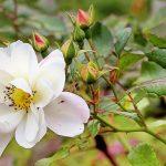 白いつる薔薇