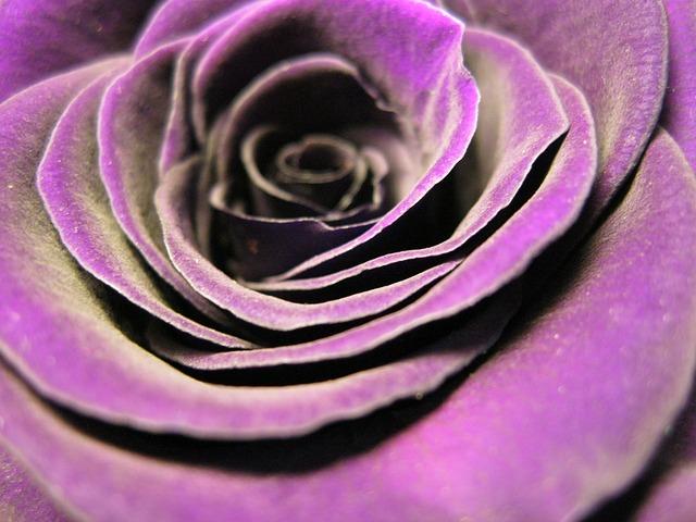 ビロード紫の薔薇