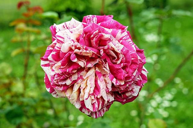斑入りの薔薇
