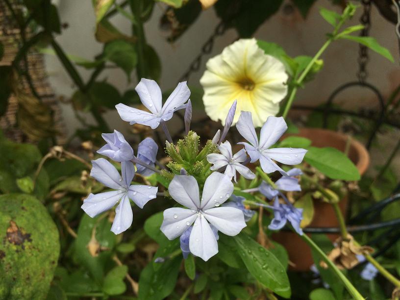 お庭の小花