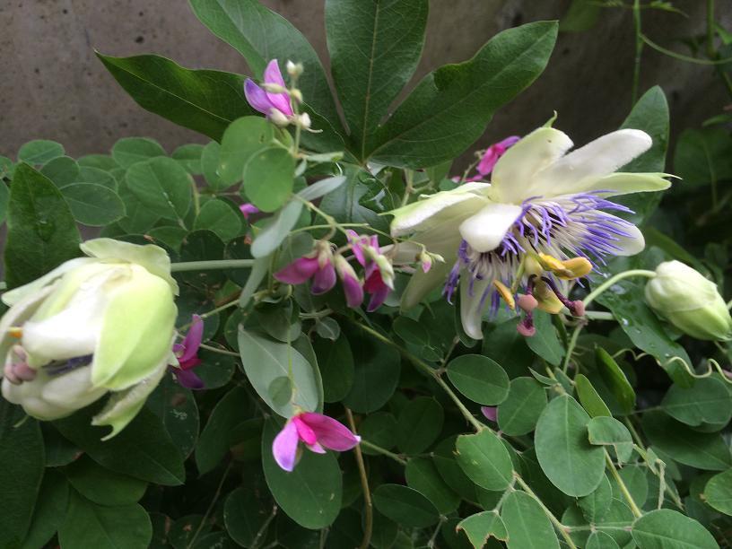 トケイソウと萩の花