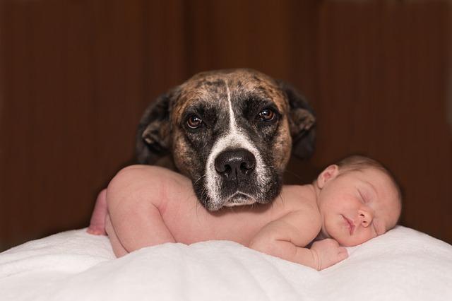 赤ちゃんを守る子守犬