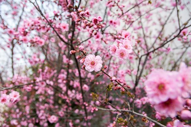 美しく咲くピンクの梅の花