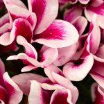 シクラメンの花びら