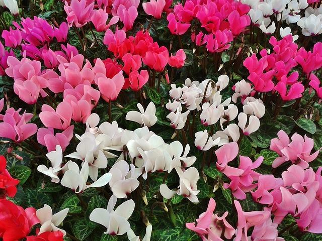 シクラメンのお花