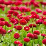 ヒナギクの花