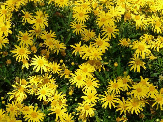 黄色いお花のマーガレット