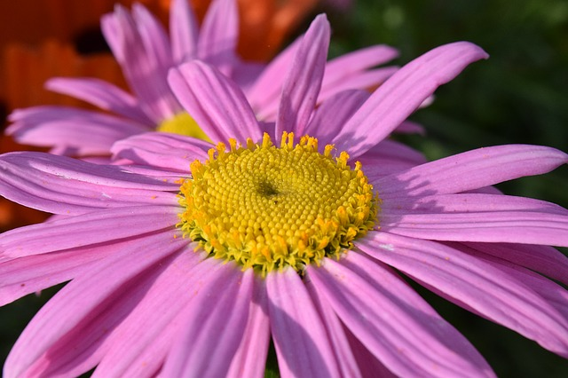 ピンクのお花のマーガレット