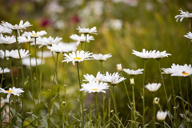 白いお花のマーガレット