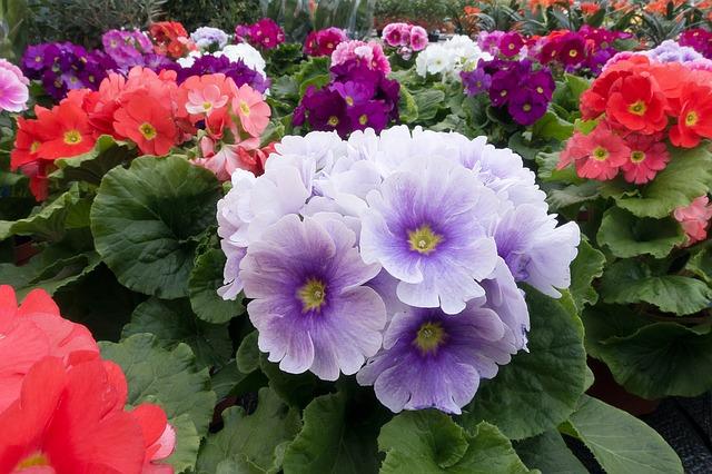 薄紫のプリムラの花