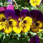 黄色と紫色のパンジー