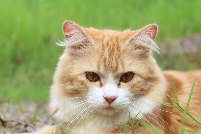 お耳の毛の長い猫
