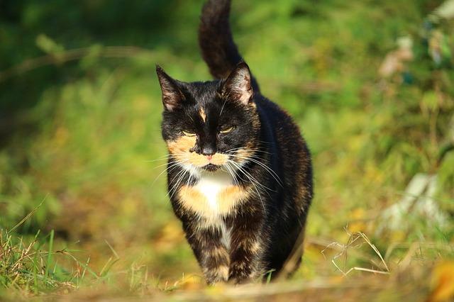 野原を散歩中の三毛猫