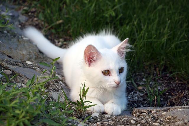 白猫の赤ちゃん