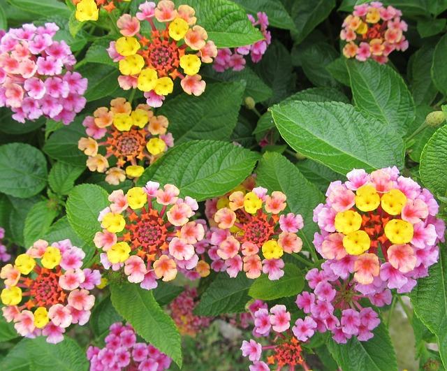 ピンクのランタナの花