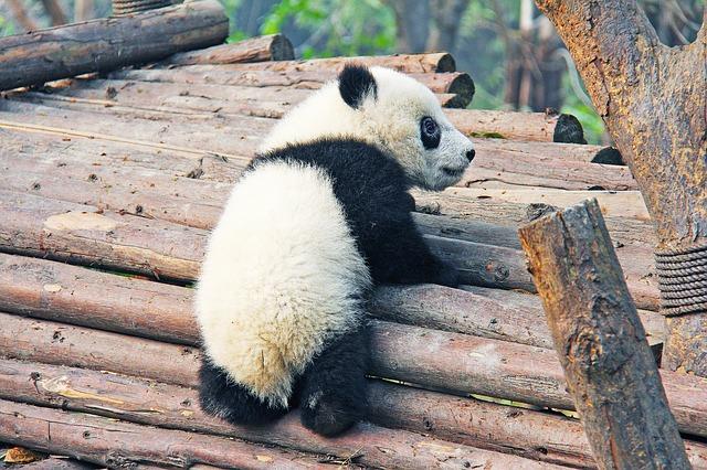小さな赤ちゃんパンダ
