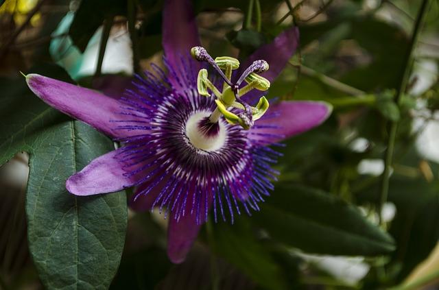 濃い紫のトケイソウ
