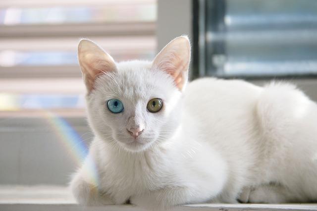 金銀の目の白猫