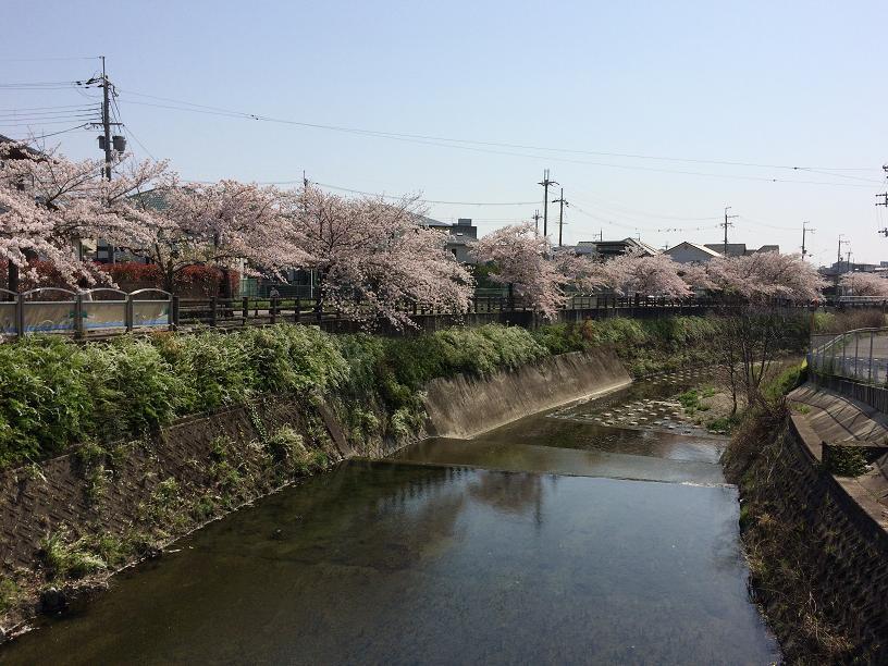 千里川の桜2