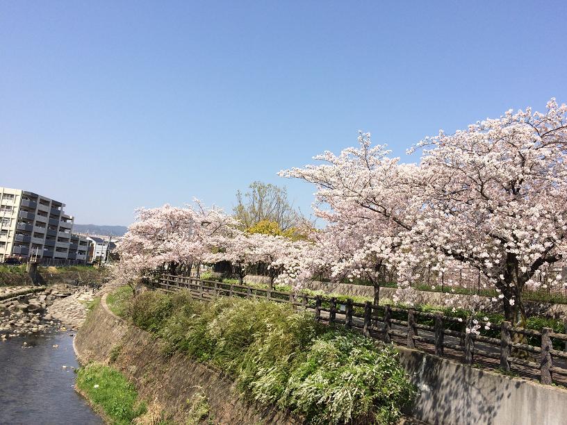 千里川の桜3