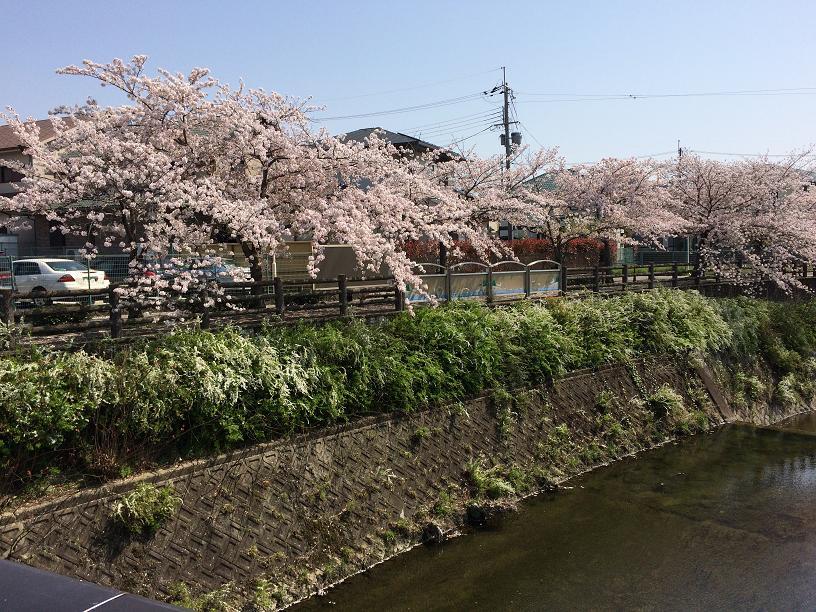 千里川の桜1