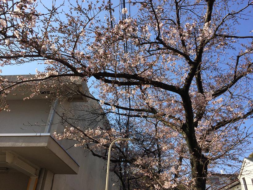 4月4日の桜の木