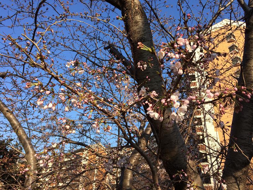 4月2日の桜の木