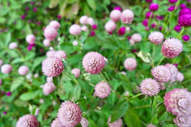 ピンク色のセンニチコウ