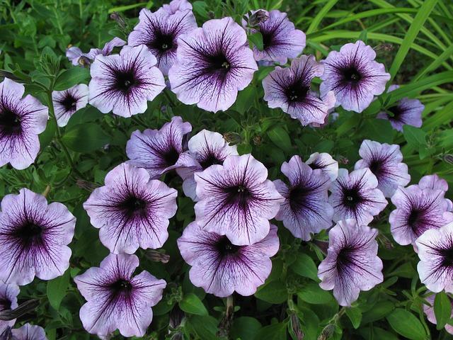 薄紫のペチュニア