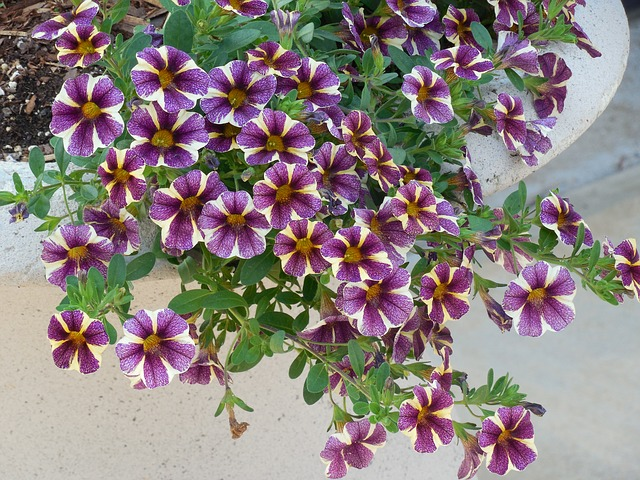 濃い紫と白いラインのペチュニア