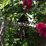 ホウキの木とブライダルベール