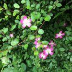 ピンクのミニバラとプミラ