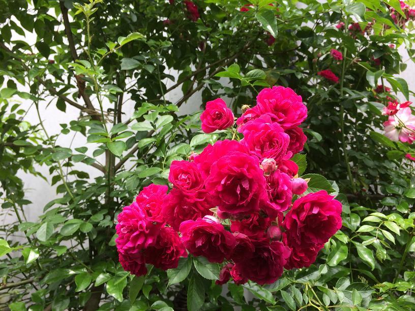つるばらの濃いピンクの花