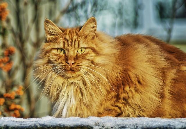 ラム・タム・タガーに似ている猫