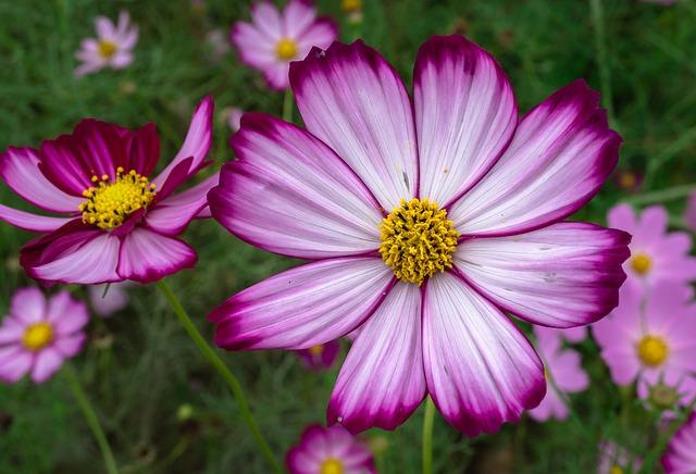 ピコティ咲きのコスモス