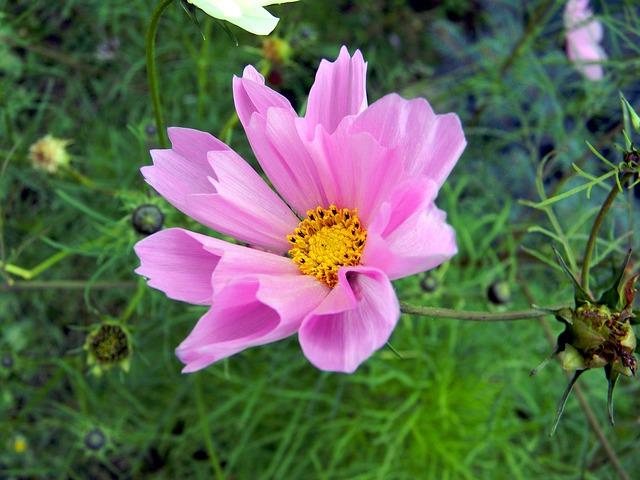 花弁が筒状のコスモス