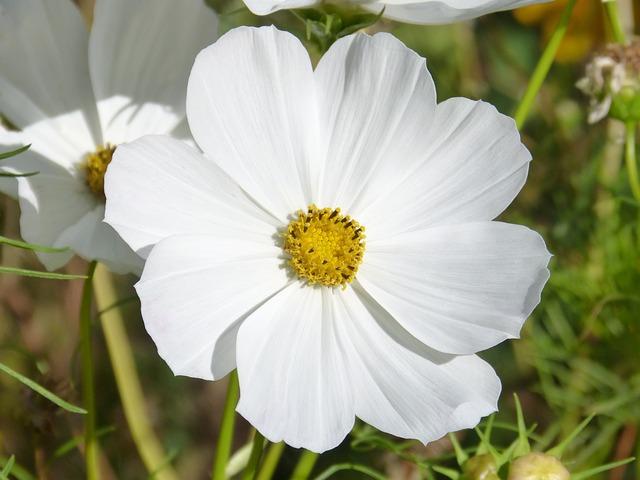 白色のコスモス