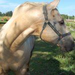 プリンスエドワード島の馬