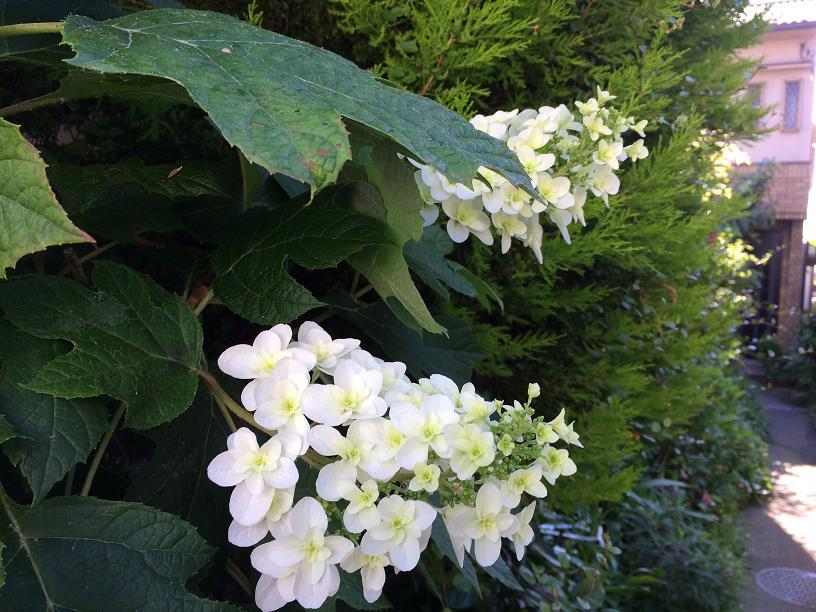 白い花の柏葉あじさい