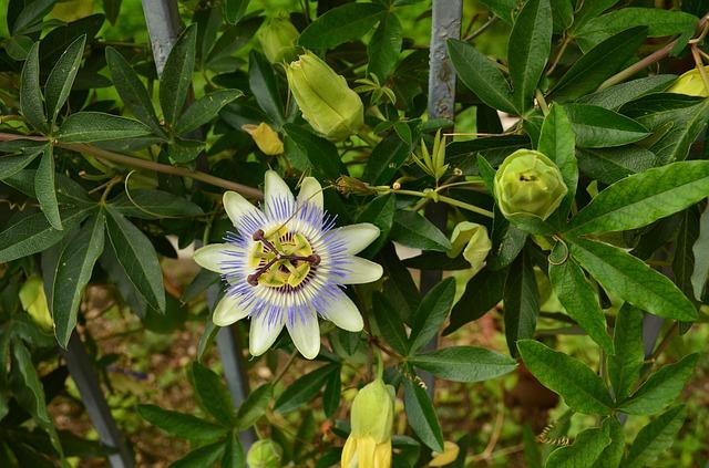 ブルー色のトケイソウの花