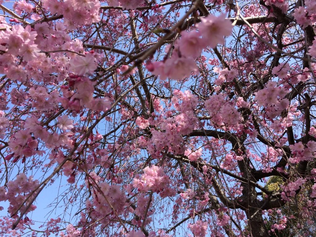 千里川の桜8