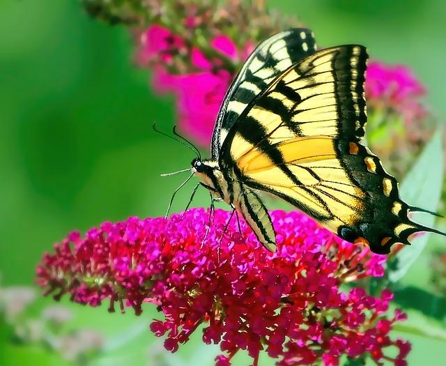 黄アゲハ蝶