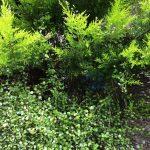 ゴールドクレストの木