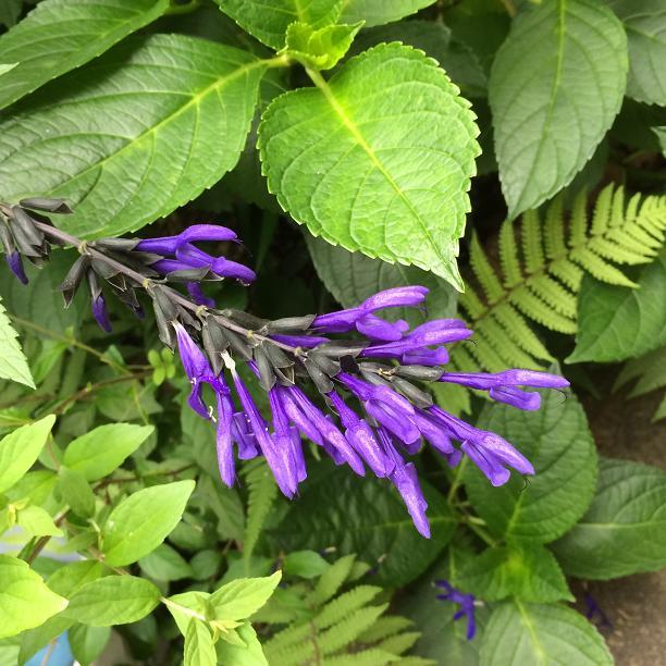 メドーセージの花