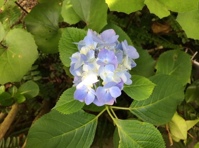 ぶるーのあじさいの花