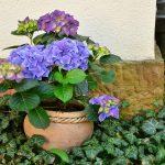 玄関のあじさいの花