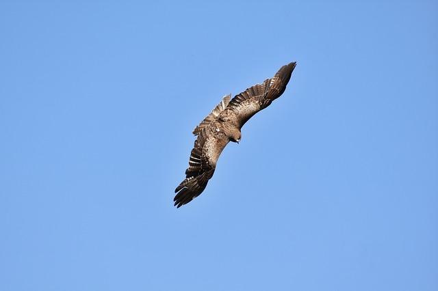 大空を飛ぶ鳶