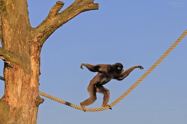 猿の綱渡り