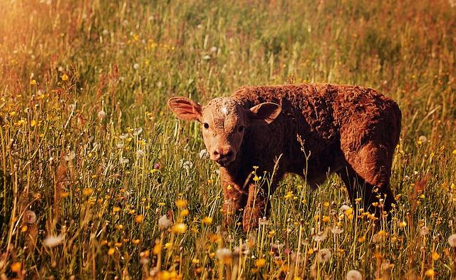 野原の子牛
