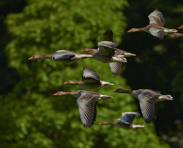 カナダの渡り鳥